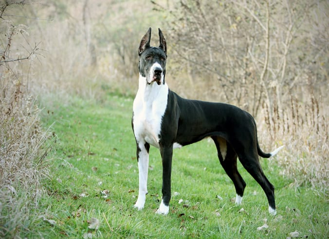 Great dane largest dog breed