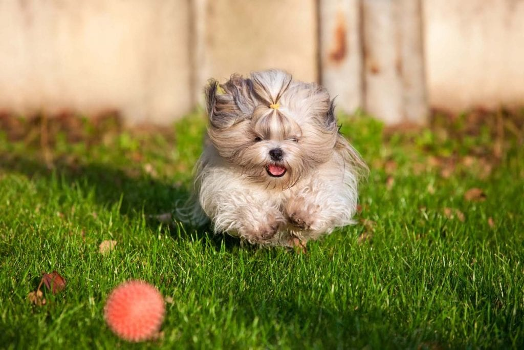 Shih Tzu Dog Facts and Information