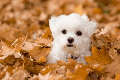 Toy Dog Breed Maltese