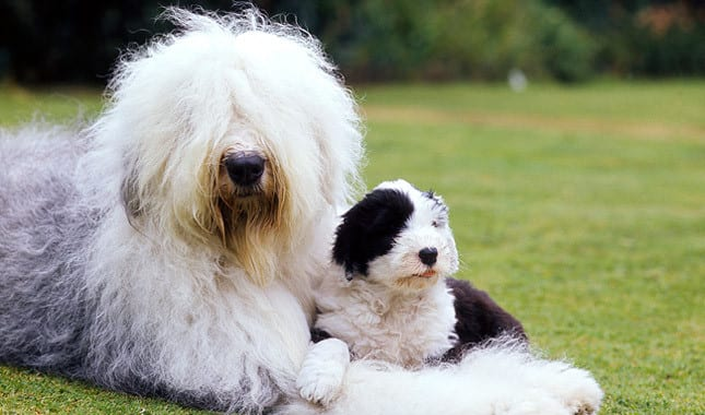 Old English sheepdog fluffiest dog breeds