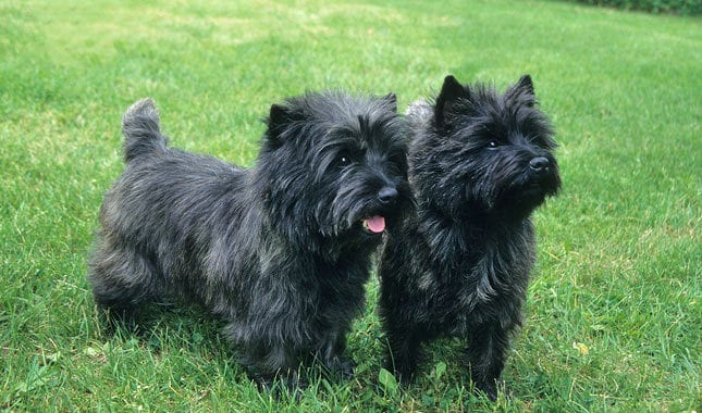 Cairn Terrier Dogs Dark Brindle