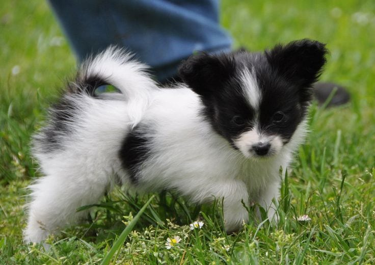 papillon dogs mart dog breeds