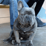 blue-french-bulldog-puppy