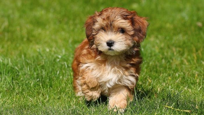 havanese-puppy-fluffiest-dogs