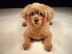 Miniature Poodle Dogs