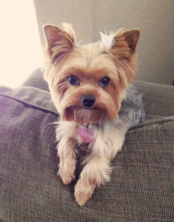 Yorkie Haircut Pictures