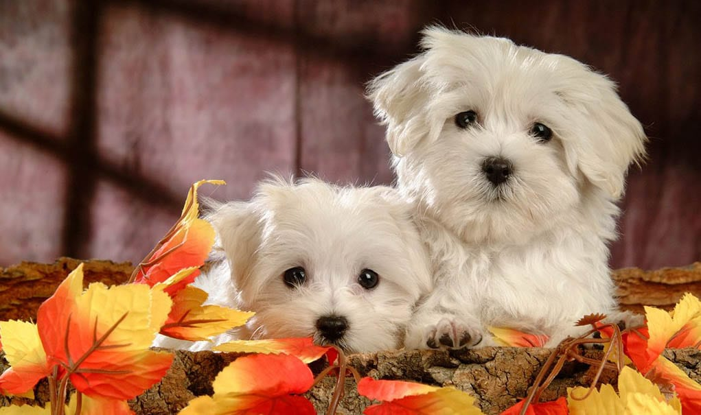 maltese cute puppy