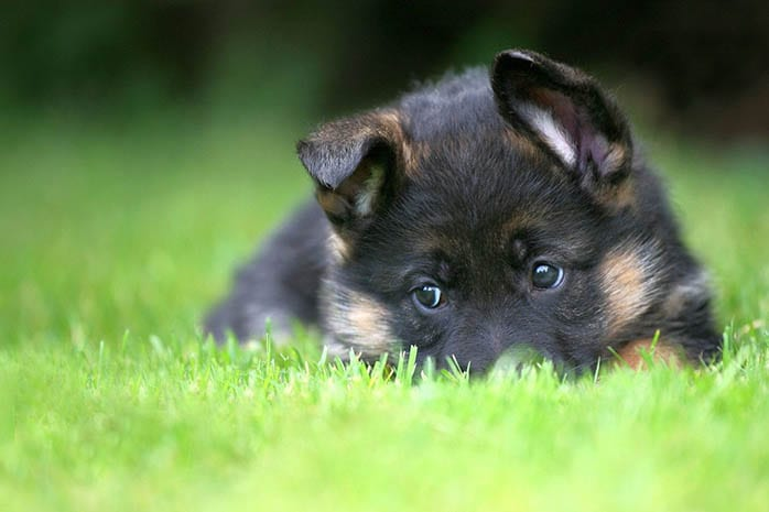German Shepherd smartest-dog-breeds