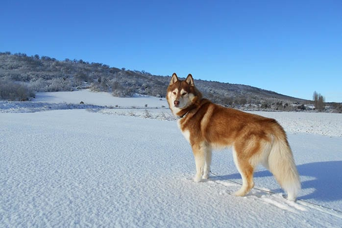siberian husky brown