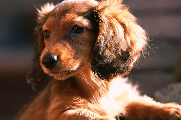 10 Amazing Things about Dachshunds Dogs 1