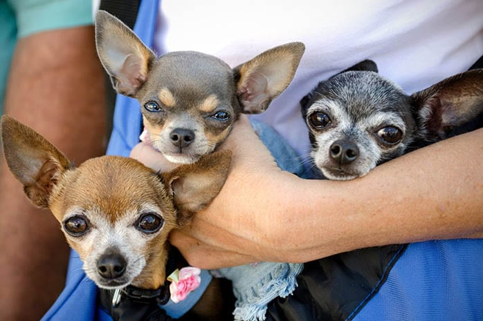 Top 10 Benefits Of Having A Chihuahua 1