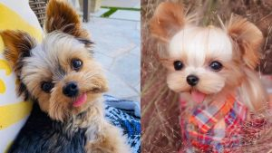 benefits-yorkshire-terrier