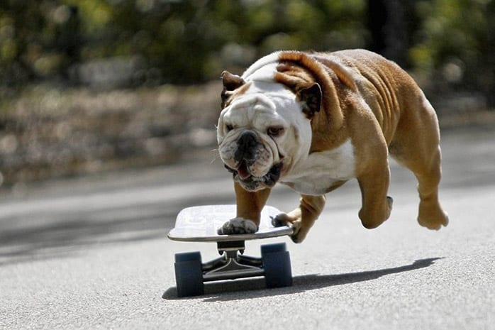 bulldog skateboard