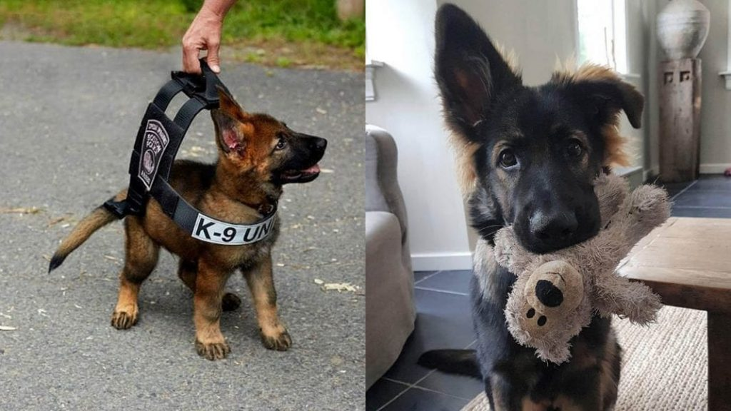 Top 10 Heroic German Shepherds