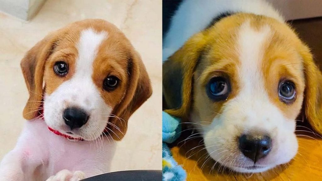 Top 10 Benefits Of Having A Beagle