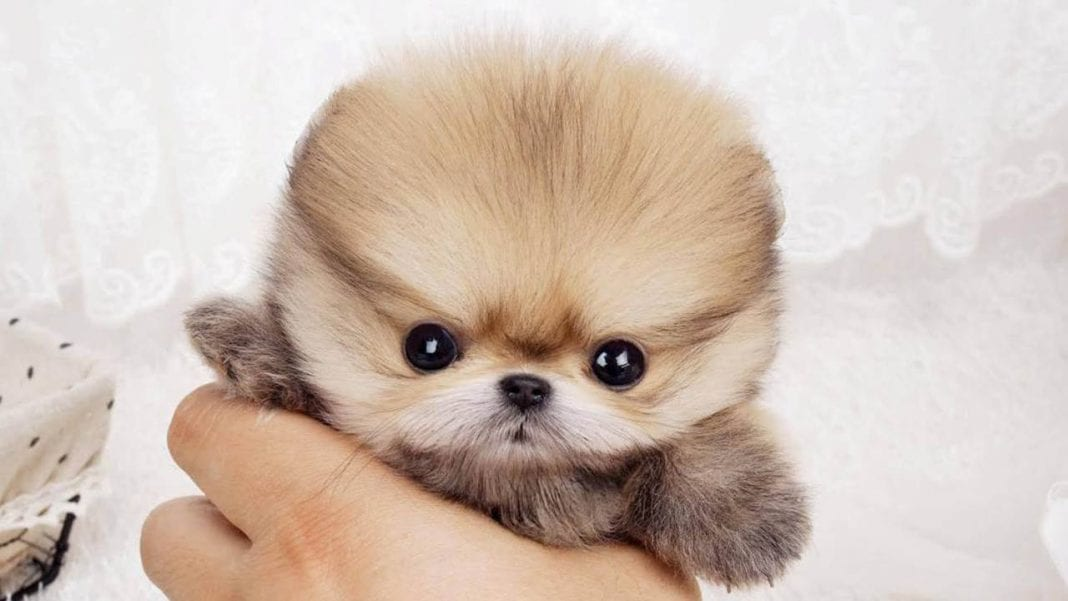 Teacup Pomeranian What S Good And Bad About Em