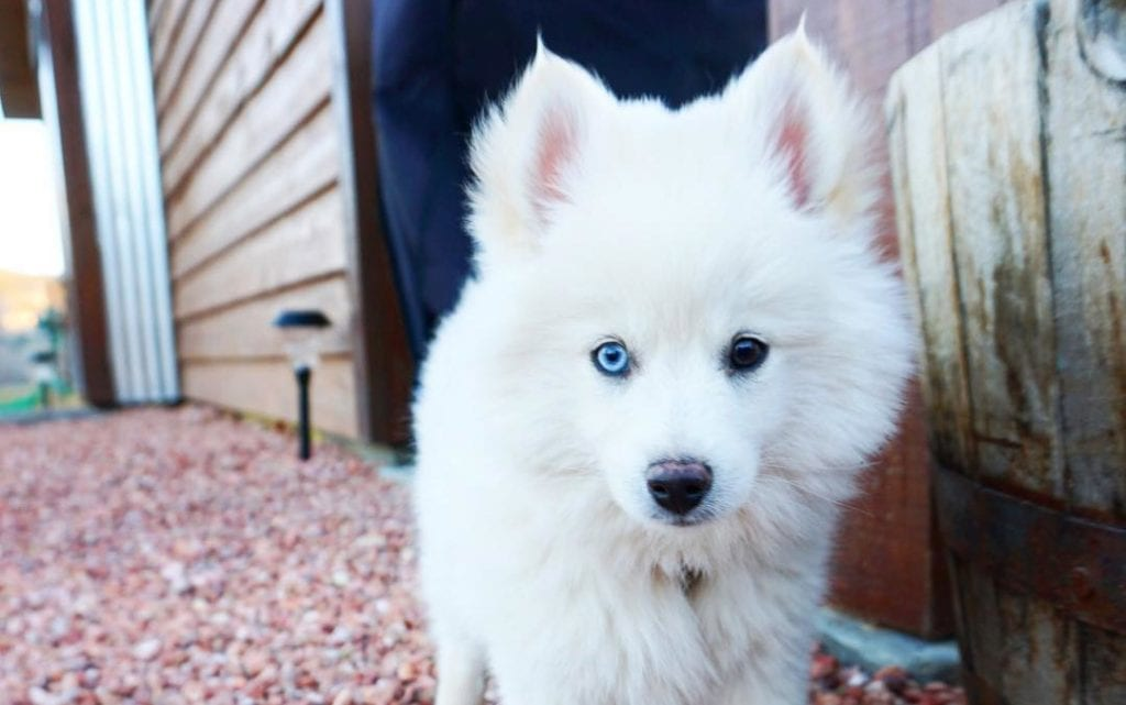 white pomsky puppy