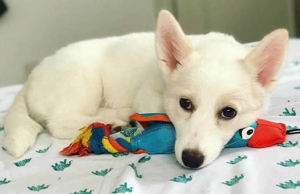 white corgi husky mix puppy