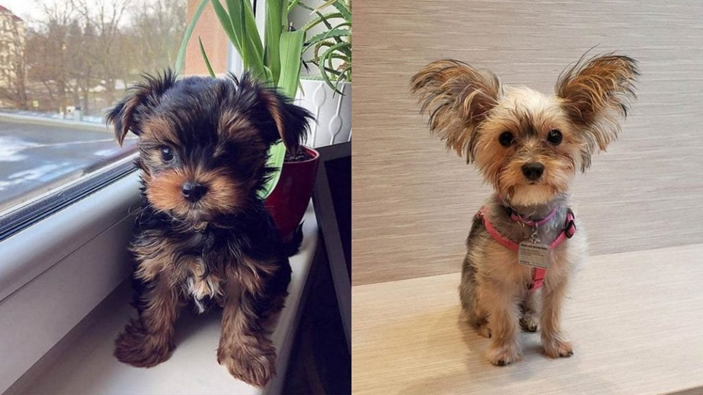 16 Amazing Things About Morkie Dog Breed