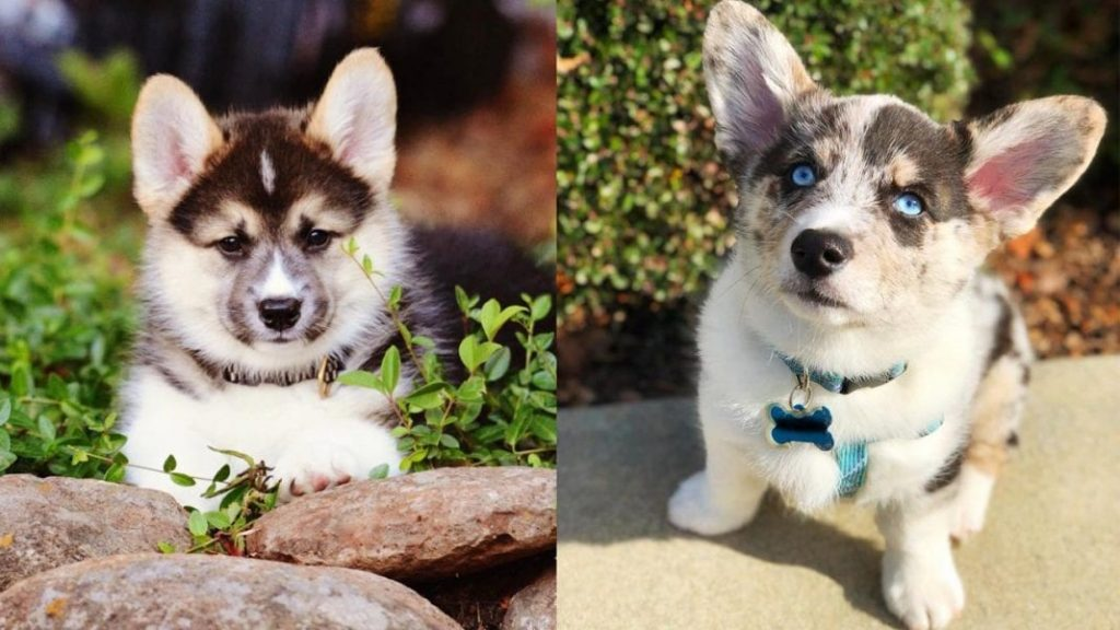 Amazing Things About Corgi Husky Mix – Horgi Facts