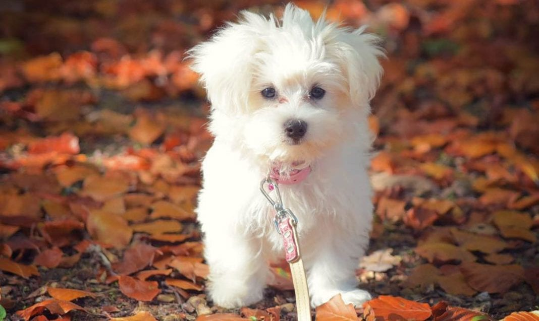 teacup-maltese-dog