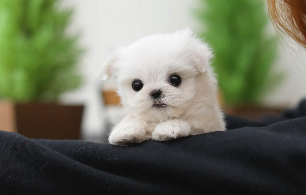 Are There any Health Risks with Teacup Dogs? 1
