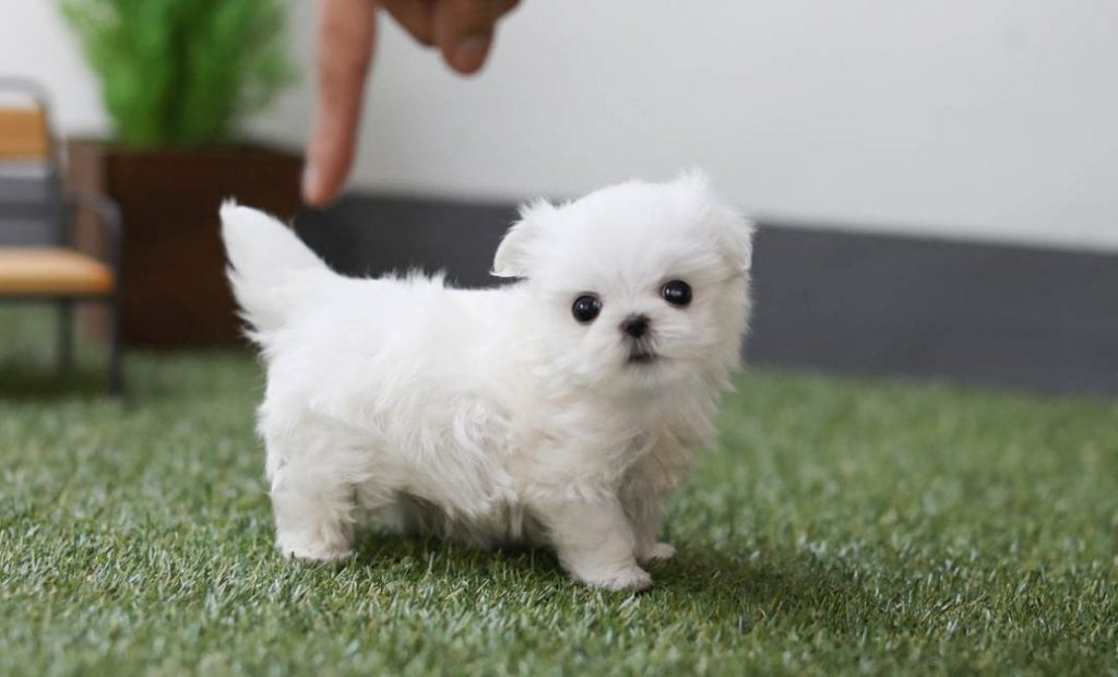 Teacup Dog Breeds