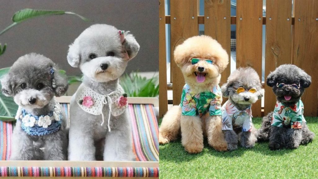 Poodle Haircuts -Top 35 Amazing Poodle Cut Images