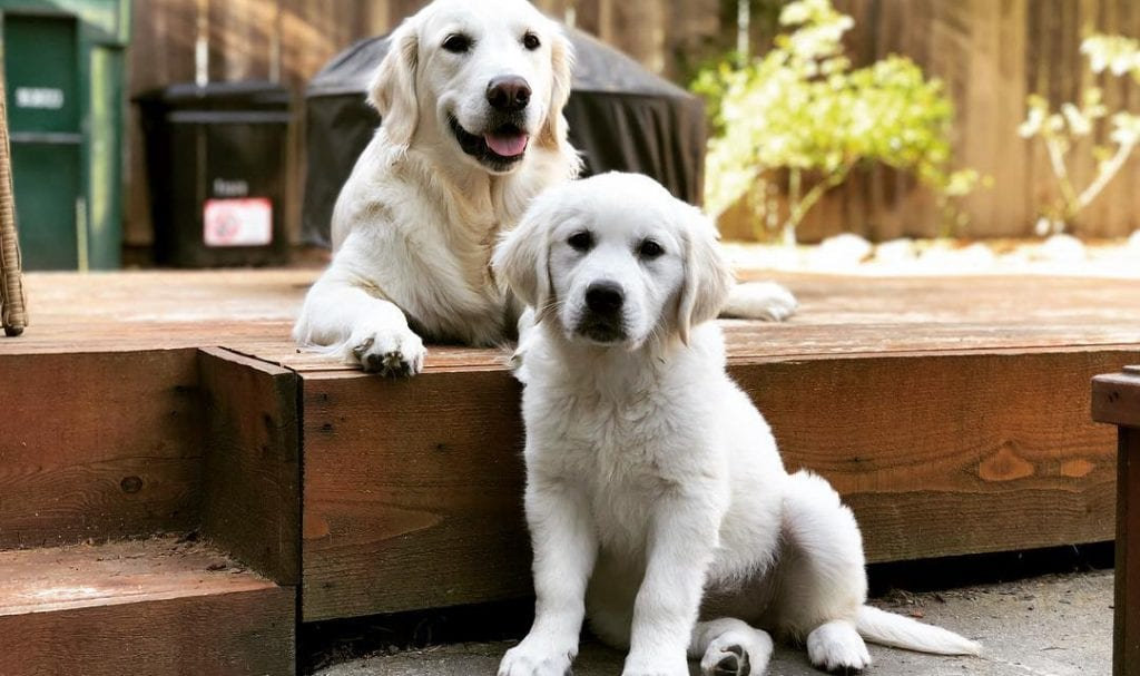 two english cream golden retrievers