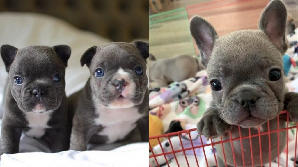 French Bulldog Dog Facts and Information (Frenchies)