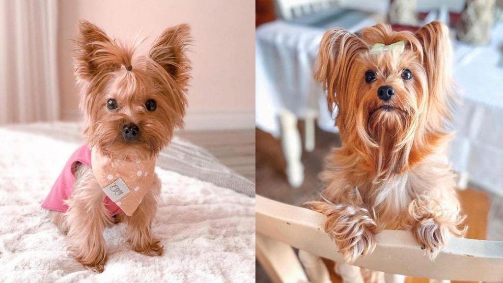10 Amazing Facts About Yorkshire Terriers