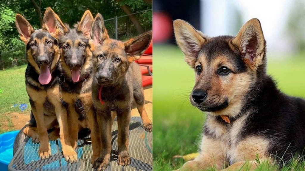 German Shepherd and Labrador Mixed Dog Facts