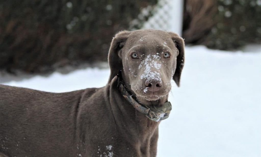 silver labs dog breeds