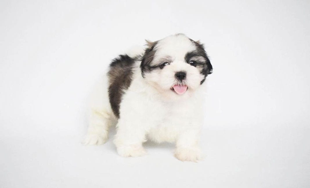 teacup-shih-tzu-dogs