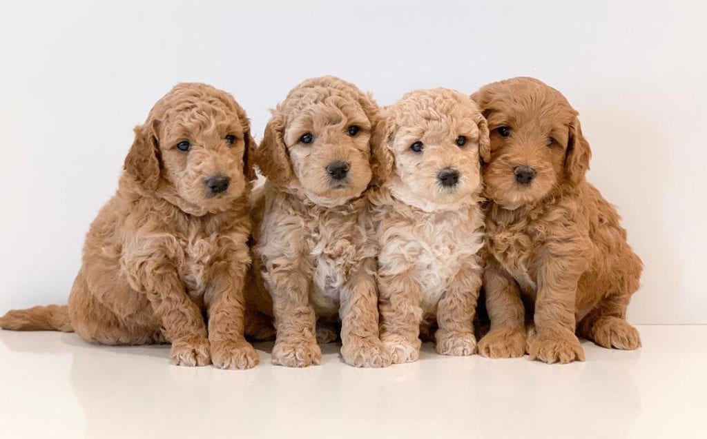 four-miniature-golden-doodle