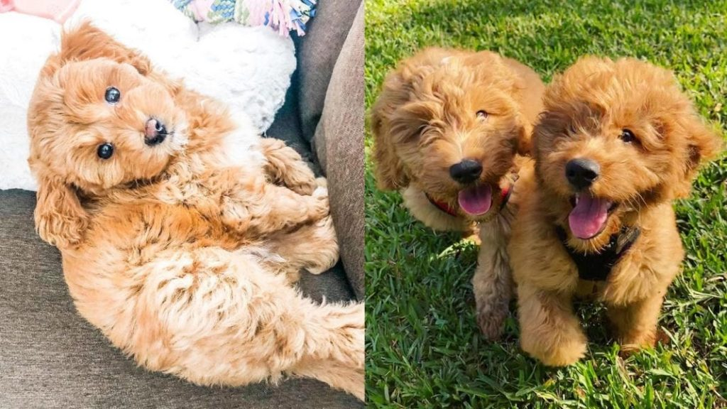 12 Amazing Facts About Miniature Golden Doodle