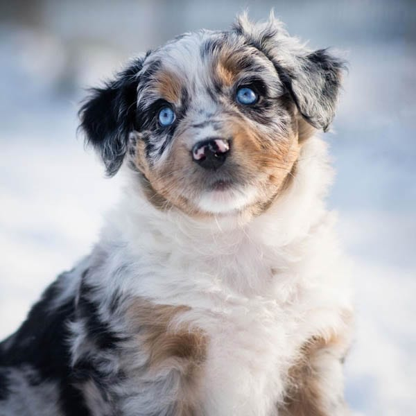 australian-shepherd-smartest-dog-breeds