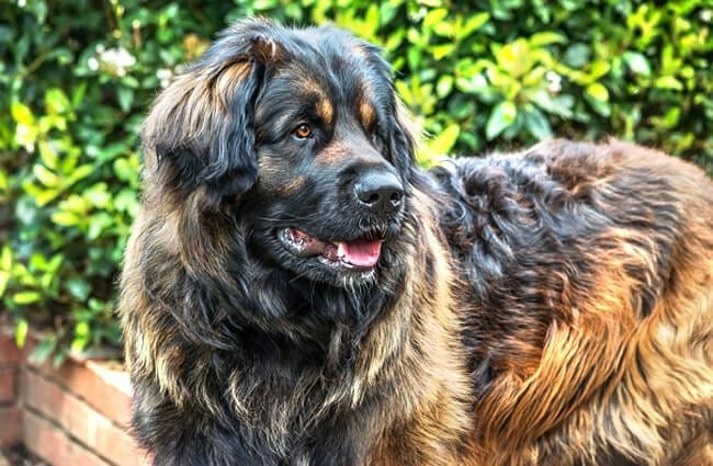 Leonberger-dog-breed