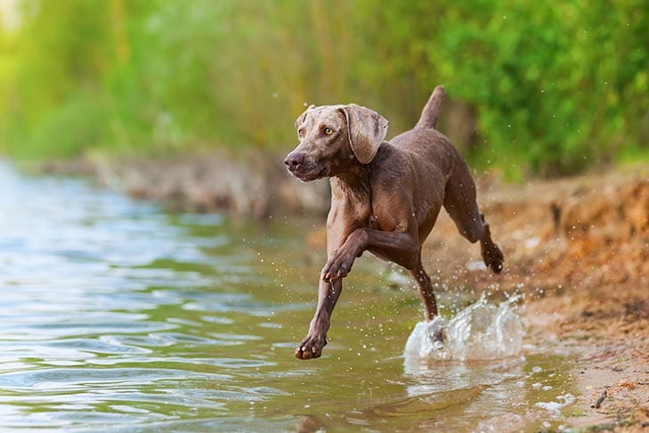 weimaraner-dog-breed- smart-dogs