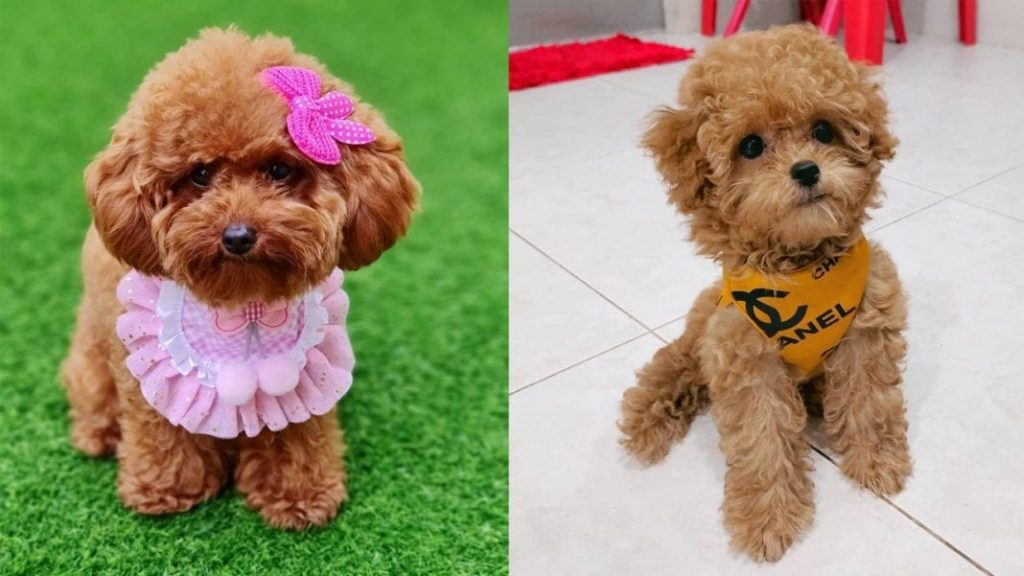Top Ten Benefits of Having a Toy Poodle Dog