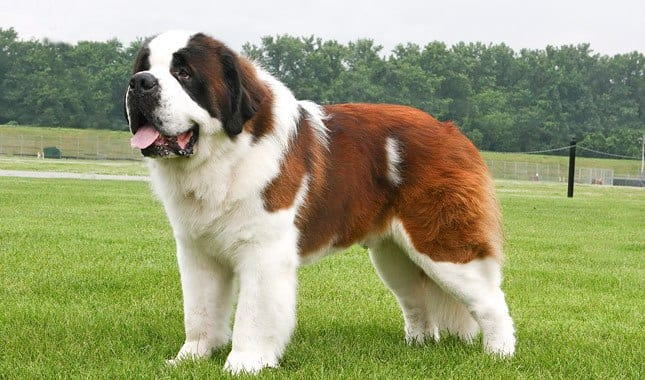 saint-bernard-strongest-dog-breed