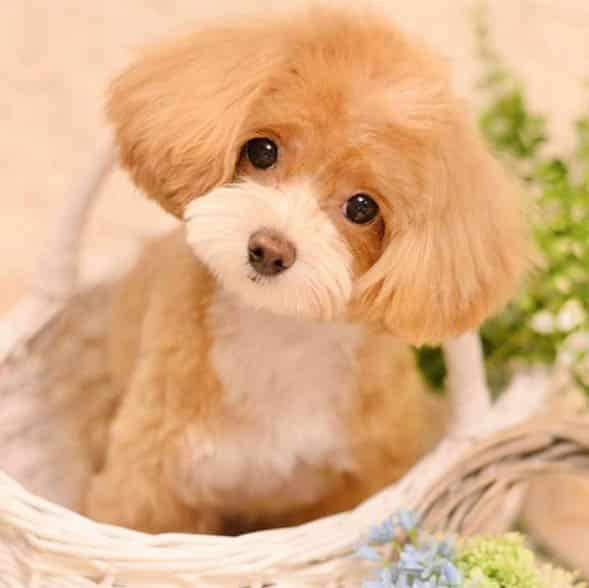 Top 10 Benefits Of Having A Toy Poodle Dog 1