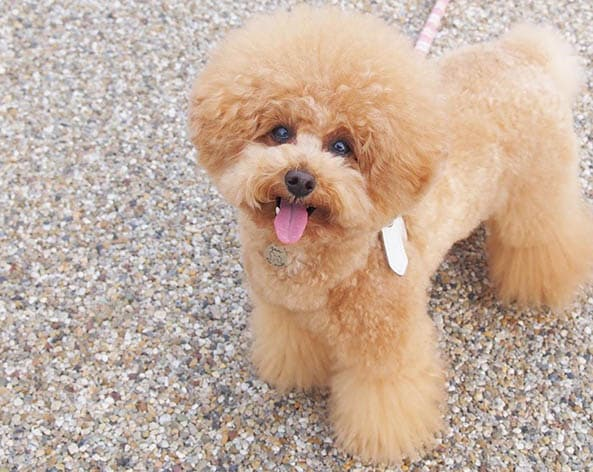 toy-poodle-facts