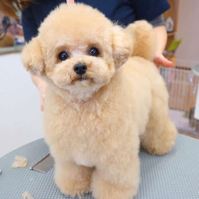 toy-poodle-long-dog-lifespan