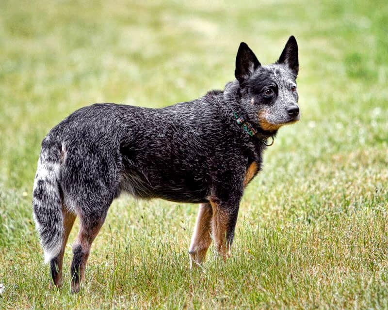 australia-cattle-dog