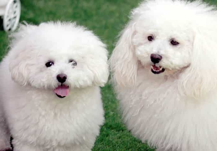 Cutest 12 White Dog Breeds 1