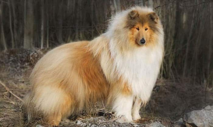 fluffiest-dogs-collie