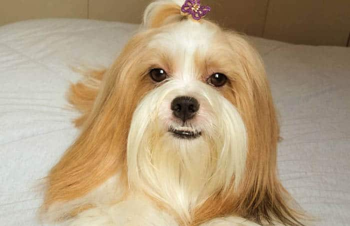 fluffiest-dogs-lhasa-apso