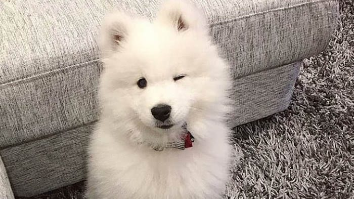 fluffiest-dogs-samoyed