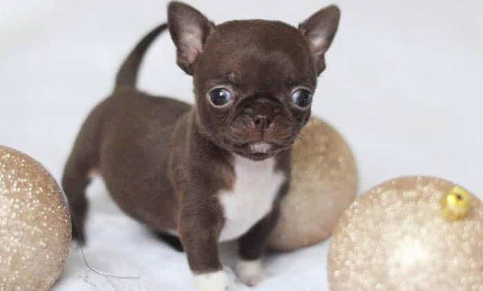 teacup-chihuahua-puppy